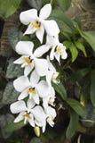Phalaenopsis amabilis Stock Photo