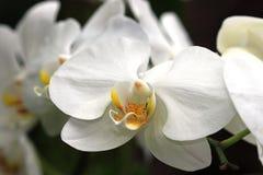 Phalaenopsis Amabilis dell'orchidea fotografia stock libera da diritti