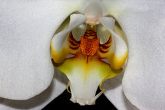 Phalaenopsis & x27 Aphrodite& x27  Ορχιδέα σκώρων Στοκ Εικόνες