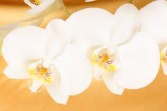 Phalaenopsis Aphrodite (ορχιδέα φεγγαριών) Στοκ εικόνα με δικαίωμα ελεύθερης χρήσης
