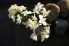 Phalaenopsis aphrodite Στοκ φωτογραφίες με δικαίωμα ελεύθερης χρήσης