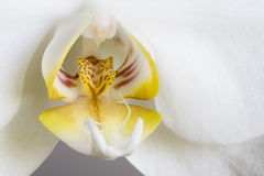 Phalaenopsis aphrodite. A macro shot of Phalaenopsis aphrodite. Flower of Phalaenopsis aphrodite resembles a moth, that's why it is often refered to as Moth Royalty Free Stock Photography