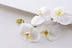 Phalaenopsis aphrodite Royalty Free Stock Photos