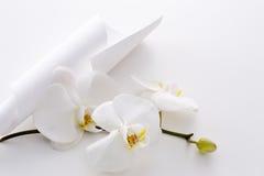 Phalaenopsis aphrodite Royalty Free Stock Image