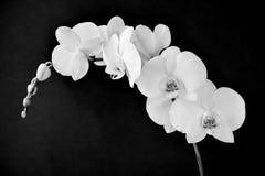 Phalaenopsis aphrodite orchidea w czarny i biały, Obrazy Royalty Free