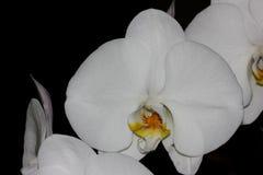 Phalaenopsis & x27; Aphrodite& x27; orkidé Royaltyfri Fotografi
