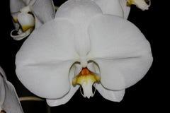 Phalaenopsis & x27; Aphrodite& x27; orkidé Arkivbilder