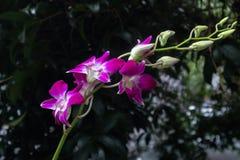 Phalaenopsis aphrodite Rchb φ Στοκ Φωτογραφία