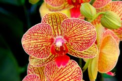 Phalaenopsis `Baldan`s Kaleidoscope`. Popular Moth Orchid hybrid cultivar also known as `Golden Treasure`, with showy golden yellow flowers with red to deep royalty free stock photography