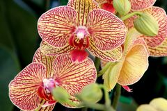 Phalaenopsis `Baldan`s Kaleidoscope` stock photos
