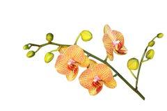 Phalaenopsis Baldan's Orchid Stock Image