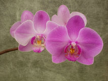 Phalaenopsis. Beautiful branch of  purple phalaenopsis orchid. gray background Stock Image