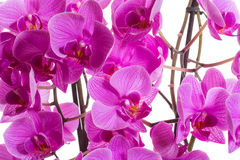 Phalaenopsis. Beautiful flowers on a white background Royalty Free Stock Images
