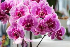 Phalaenopsis. Beautiful Phalaenopsis in the garden Royalty Free Stock Photos