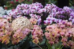 Phalaenopsis Royalty Free Stock Photos