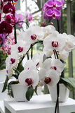 Phalaenopsis. Beauty white pink red Phalaenopsis in the garden Royalty Free Stock Photo