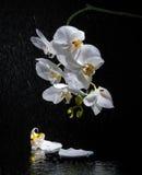 Phalaenopsis Biała orchidea Obrazy Stock