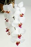 Phalaenopsis bianco dell'orchidea Fotografia Stock Libera da Diritti