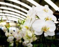 Phalaenopsis blanc Photographie stock