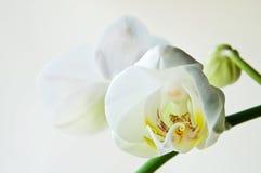 Phalaenopsis blanco de la orquídea Fotos de archivo