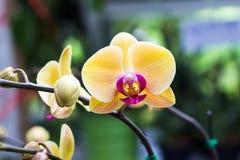Phalaenopsis blommor för malorkidé som är härliga med gul blommanolla arkivfoto