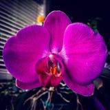 Phalaenopsis bloom. Royalty Free Stock Photo