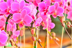 Phalaenopsis blooming Royalty Free Stock Image