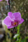Phalaenopsis,blooming orchid flower. Stock Photos