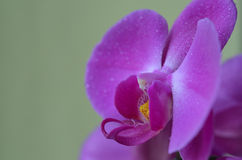 Phalaenopsis. Blooming in spring Stock Photography