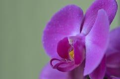 Phalaenopsis Stock Photography