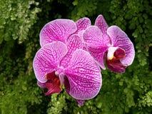 Phalaenopsis Blume fotos de stock royalty free
