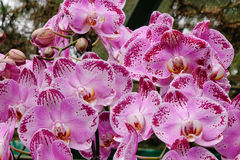 Phalaenopsis Blume orchid flowers Stock Images
