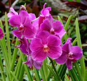 Phalaenopsis Blume orchids at the park in Singapore Stock Photos