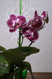 Phalaenopsis bonito da orquídea Foto de Stock