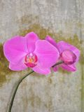 A phalaenopsis branch. A pink phalaenopsis is against wall Stock Photos
