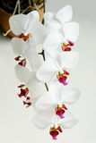 Phalaenopsis branco da orquídea Foto de Stock Royalty Free