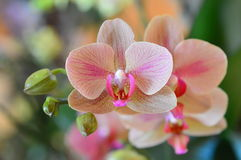 Phalaenopsis Butterfly Orchid Stock Images