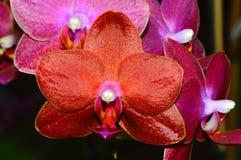 Phalaenopsis Ching Ruey's Blood red Sun Stock Image