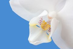 Phalaenopsis Royalty Free Stock Photos