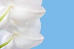 Phalaenopsis Stock Photo