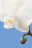 Phalaenopsis Royalty Free Stock Photography