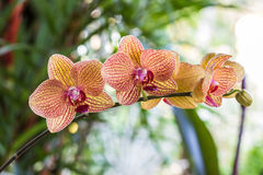 Phalaenopsis, closeup blooming orchid flower tropical plants. Stock Image