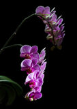 Phalaenopsis. Colorful pink orchid Royalty Free Stock Images