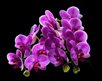 Phalaenopsis. Colorful pink orchid Stock Images
