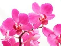 Phalaenopsis cor-de-rosa Foto de Stock Royalty Free