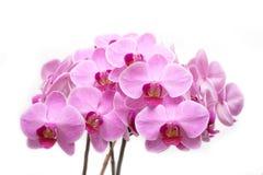 Phalaenopsis cor-de-rosa Imagem de Stock Royalty Free