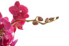 Phalaenopsis cor-de-rosa Imagens de Stock
