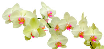 Phalaenopsis Coral Isles Royalty Free Stock Photo