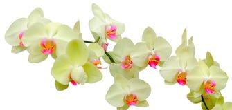 Phalaenopsis Coral Isles Royalty Free Stock Photo