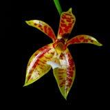 Phalaenopsis Cornu-cervi Fotografie Stock Libere da Diritti